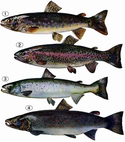 Welcher Teil Des Fischs Gilt Als GlД'ВјCksbringer?